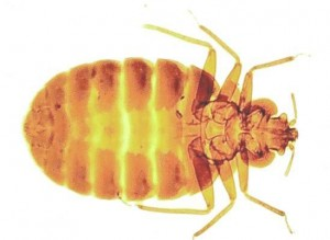 Bed Bugs Hedge End