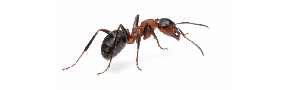 Ant Removal Bordon